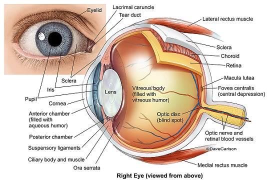 eye anatomy.jpg